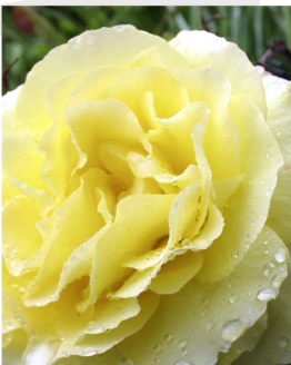Close-up of a a yellow rose by stephane loustalot photography www.loustalotphotography.co.uk