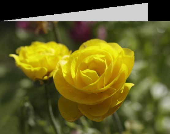Yellow roses by stephane loustalot photography www.loustalotphotography.co.uk