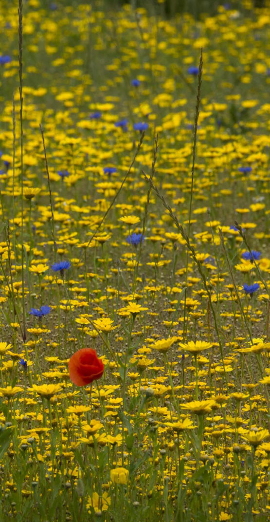 red poppy in blue and yellow meadow
